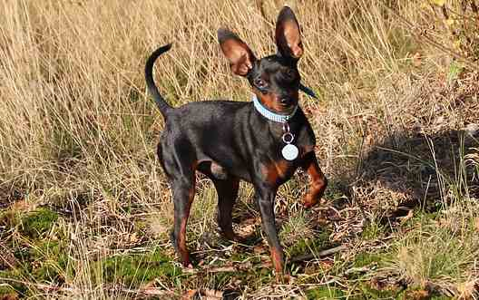 The Miniature Pinscher or Min Pin for short.