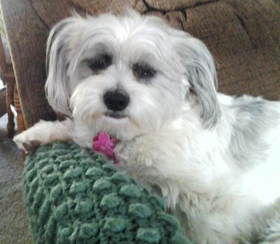 Our Molly, a Shih Tzu-Bichon Frise Hybrid
