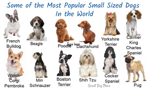 Most Popular Small Sized Dogs