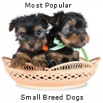 List and Discussion of the World's Most Popular Small Breed Dogs