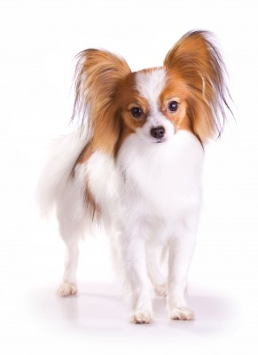 Papillon Dog Breed Information