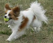 A Papillon Playing Fetch
