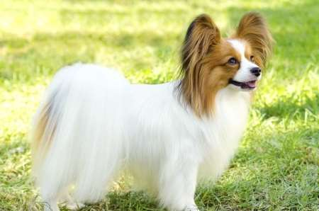 Papillon:  Gentle, happy, friendly,  Exercise needs:  Low to moderate;  Loves everyone;  Training is easy