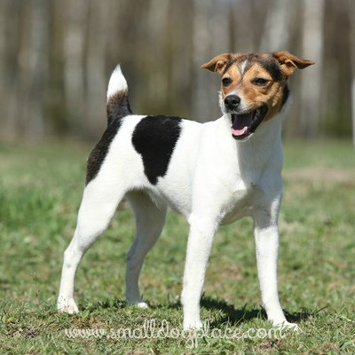 the parson russell terrier small dog place. Black Bedroom Furniture Sets. Home Design Ideas