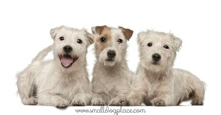 These Parson Russell Terriers have a broken or harsh hair coat.