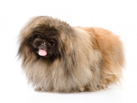 Small brown hairy breed dog