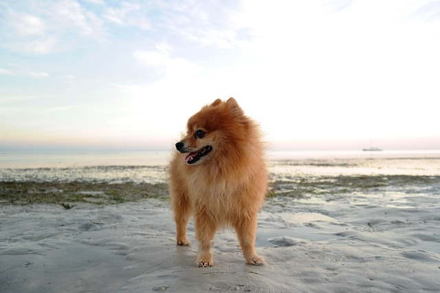 Pomeranian, Tiny dog breed