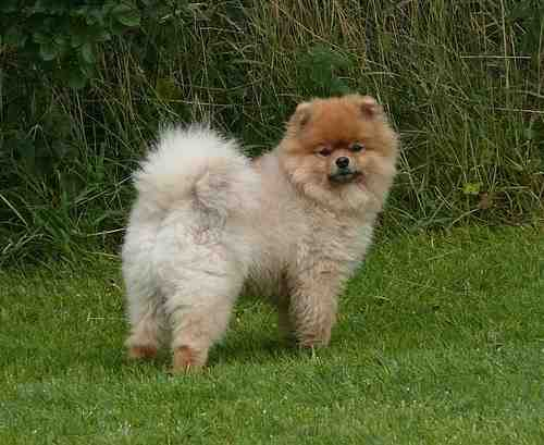 The Pomeranian, one of the smallest of the Spitz family lives upwards of 16 years.