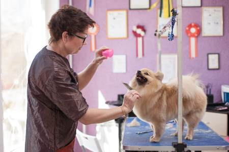 You can do a home grooming session or take your Pomeranian to a Professional Groomer.