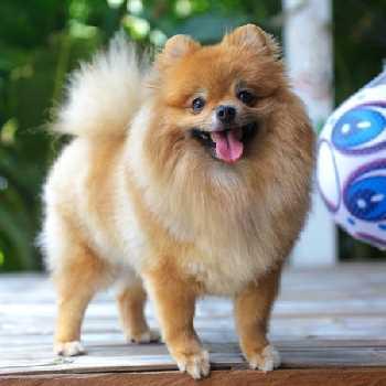 Tiny Pomeranians make excellent lap dogs.