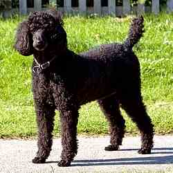 Black Toy Poodle Link to Breed Profile Page