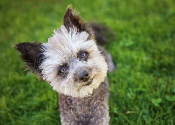 Poodle - Chihuahua Mixed Breed Pros and Cons of Crossbred Dogs