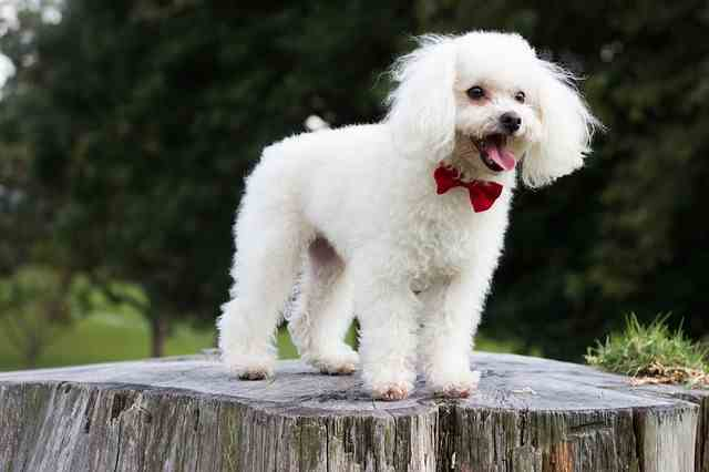 A young white toy poodle wearing a red bowtie is standing on a tree stump