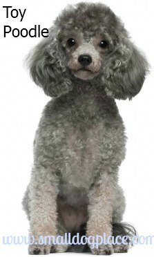 Poodles:  Small dogs good with children