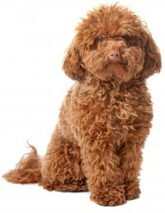 Non-shedding Dogs:  Poodle