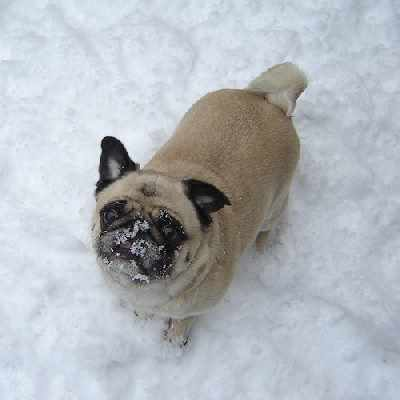 A Pug in the Snow