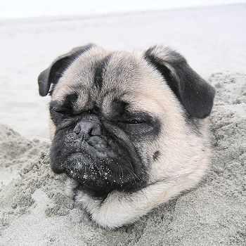 The Pug Dog Breed