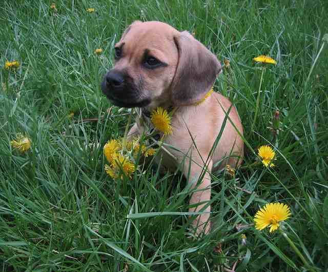 This is a Puggle, a mix between a Beagle and a Pug
