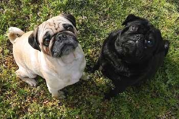 Two pugs are looking up at the camera.