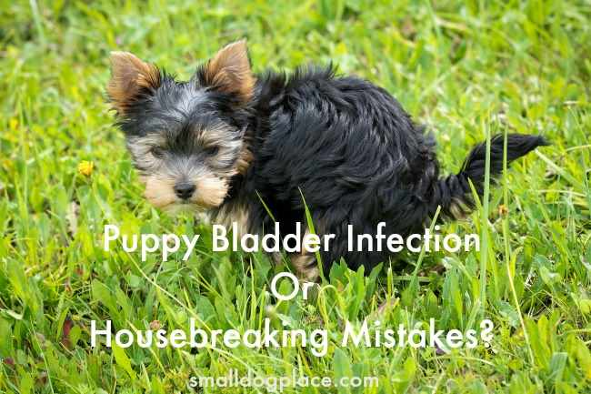 Puppy Bladder Infection or Pottying Mistakes:  How to Tell the Difference