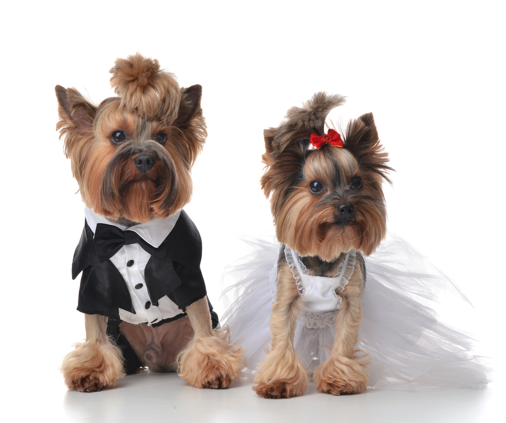 Two Yorkies are dressed as bride and groom