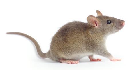 Rodent (Rat)