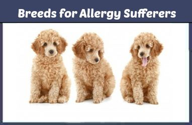 Small Breed Dogs for Allergy Sufferers