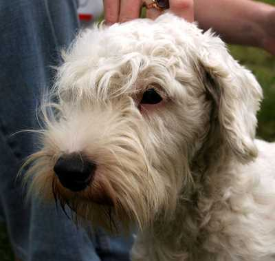Sealyham Terrier Head