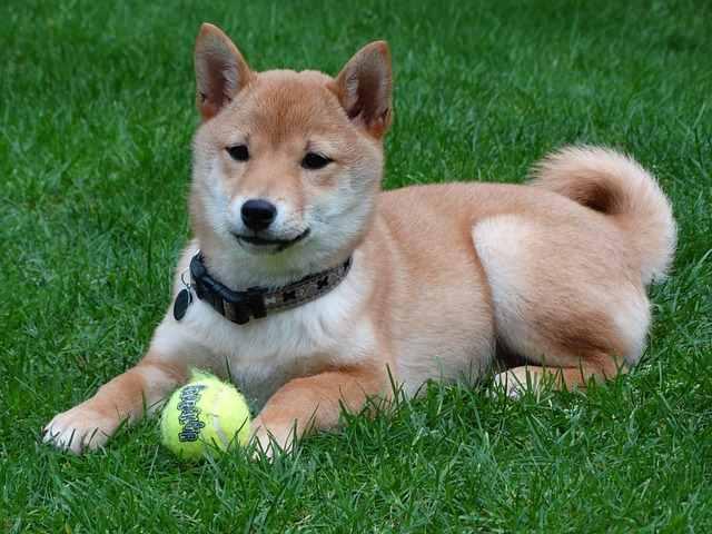 Shiba Inu - Small Dog Place