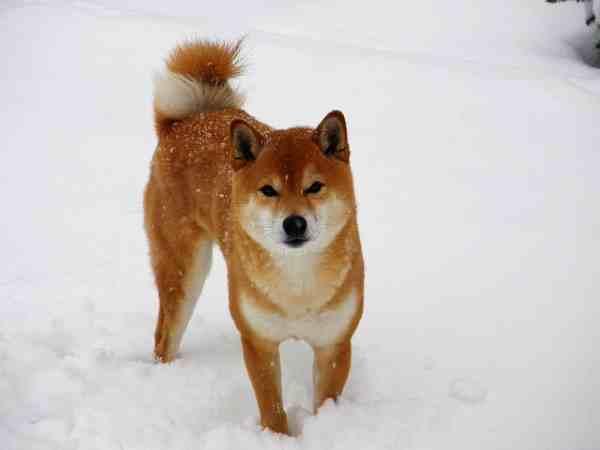 Shiba Inu in the snow
