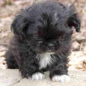 Black Shih Tzu link to Shih Tzu breed profile page