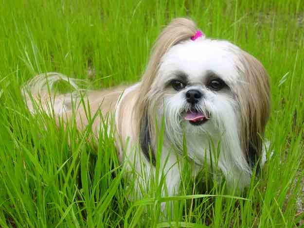 A gold and white Shih Tzu is sitting in tall grass.