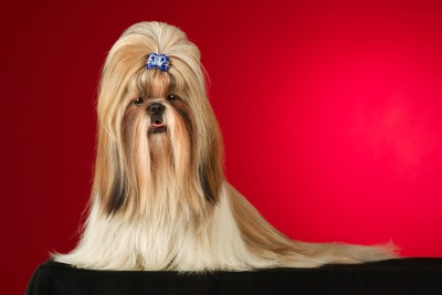 Popular Small Breed Dog:  The Shih Tzu
