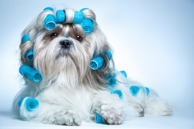 Shih Tzu Grooming Requirements