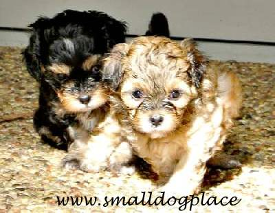 Two Shorkie Puppies from the same Litter