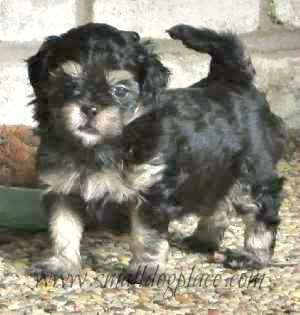 Shorkie Tzu Pup (Shih Tzu and Yorkshire Terrier Mix)