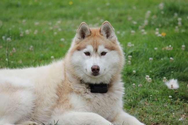 Siberian Husky lying in the grass, facing the camera.