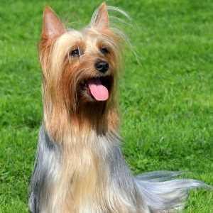 Silky Terrier in Show Coat