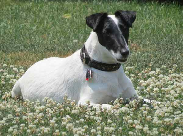 Health Concerns of the Smooth Fox Terrier