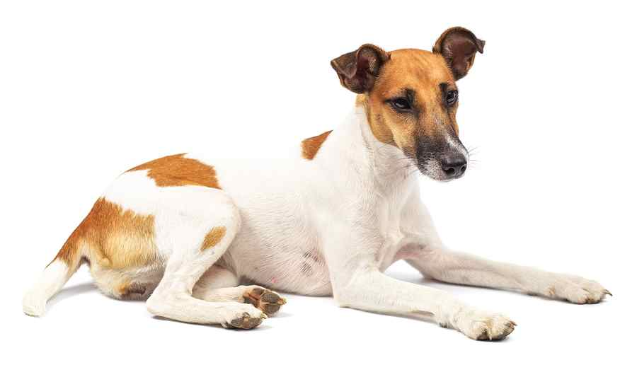 Smooth and Sleek, Smooth Fox Terrier