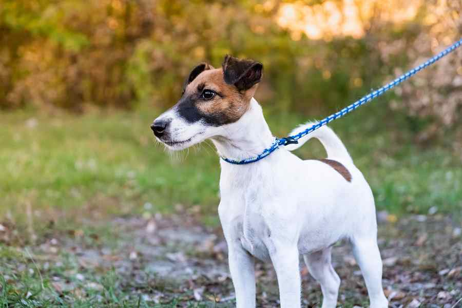 History of the Smooth Fox Terrier