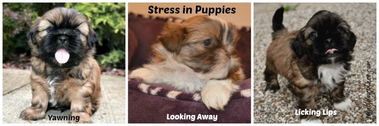 Three signs of stress in puppies