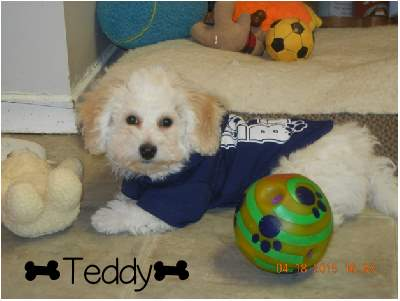 Performatrin Ultra, Chicken and brown Rice Puppy Food Review.  This is Teddy, a Bichon Frise from Ontario Canada