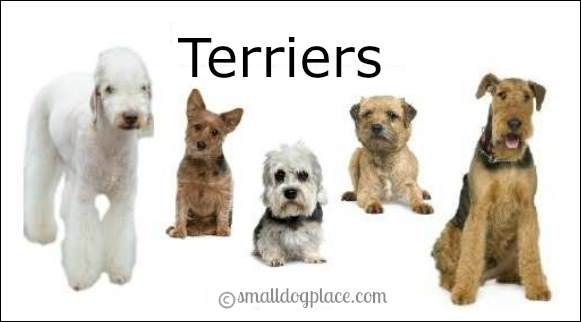 Terrier Breeds often have a harsh outer coat that protects them from the weather.
