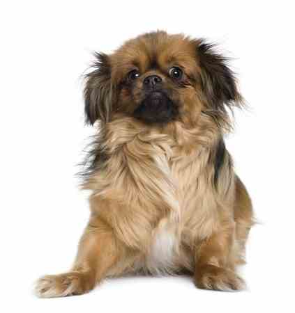 Tibetan Spaniel Breed Profile At Small Dog Place