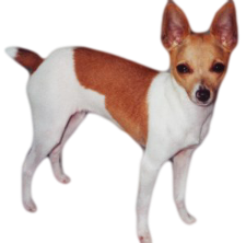 American Toy Fox Terrier at Small Dog Place
