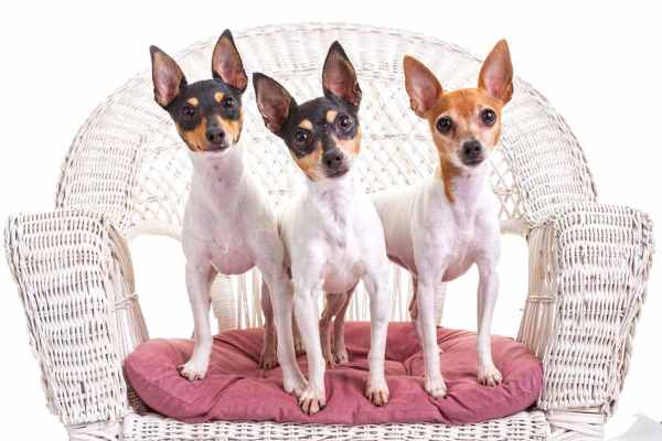 Three Toy Fox Terriers