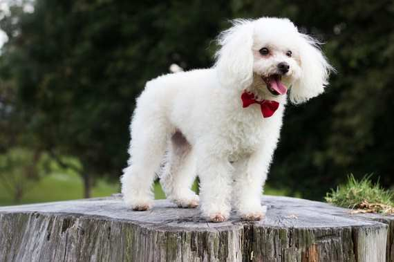 Toy Poodles have been known to live as long as 20 years if cared for properly.  Their normal lifespan is about 15 years.