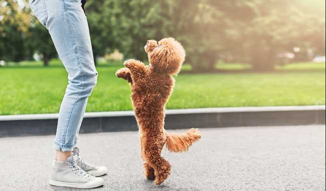 A red poodle is standing on his hind legs in front of his owner.