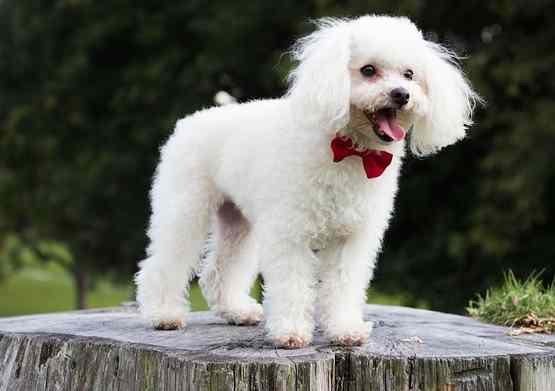 The Toy Poodle
